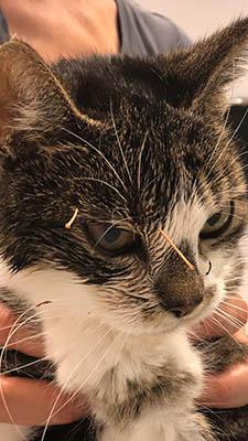Acupunctuur kat met marjolein van Zuijlen Dierenkliniek De Polder Maassluis